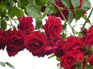 climbing-roses-1431123_960_720